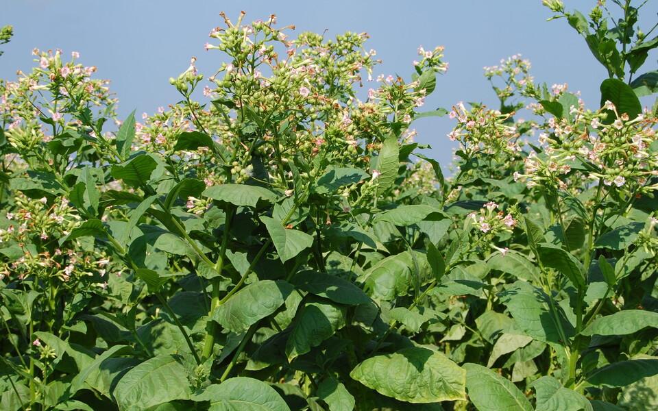 Kuigi lähim looduslik tubaka kasvukoht jääb Wishbone'ist 13 kilomeetri kaugusele, võisid leiukohas peatunud inimesed korjata taime veelgi kaugemalt.