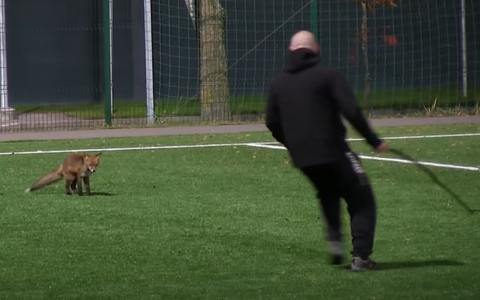 A stand-off between the fox and a stick-wielding match official.