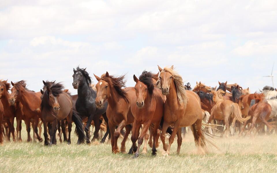 Hobused jooksmas Sise-Mongoolia steppides Hiinas 2019. aasta juulis.