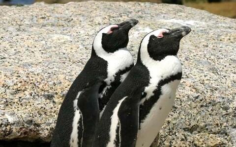 Paar prillpingviine.