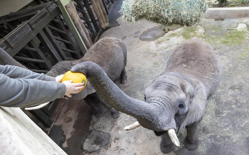 Laste saadetud kõrvitsatega maiustasid loomaaia elevandid.
